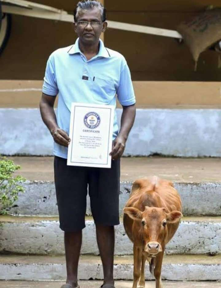 Vechur in holds guinese book records as smallest cow in the workd