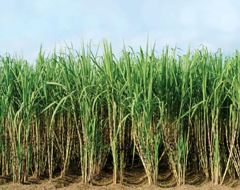 Sugercane fied