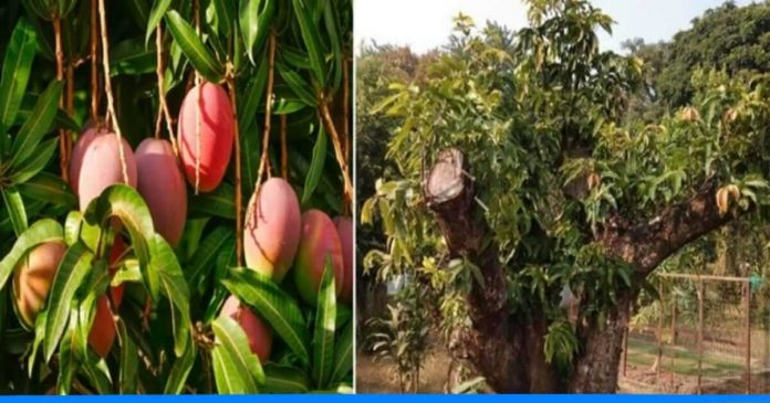 Mango tree which gives 45 types of fruit