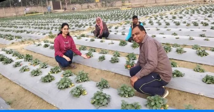 Ramesh Mishra Strawberry farming