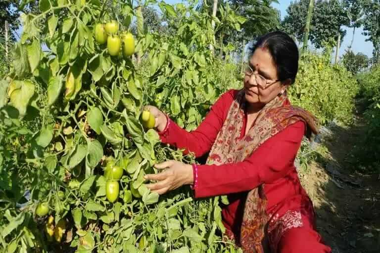 Kanaklata is growing tomatoes by new method of farming