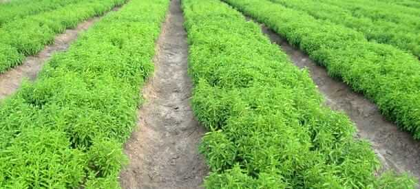 Farming of stevia for making sugar free products by Swati