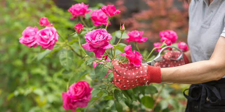 Tips to grow rose at home