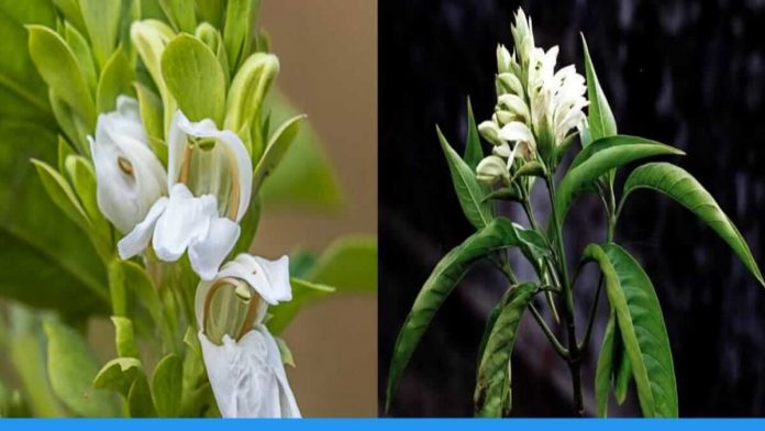 Benefits of Adusa plant rich in medicinal properties